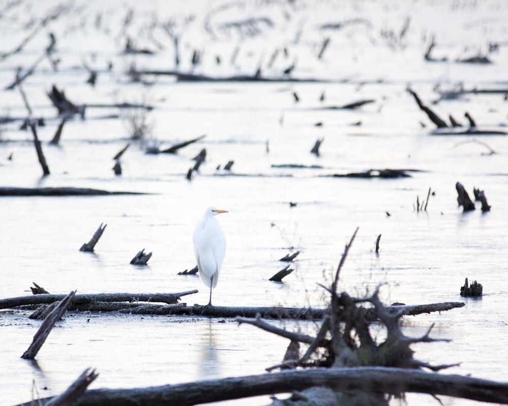 Icy Egret