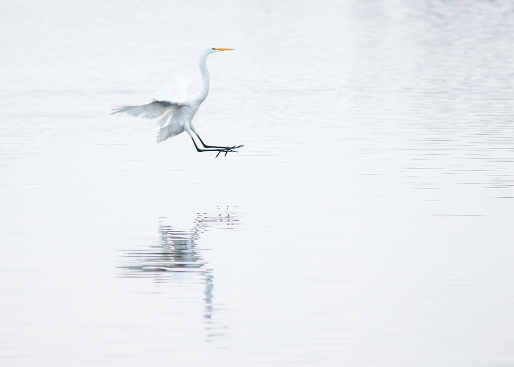 Egret with Flare