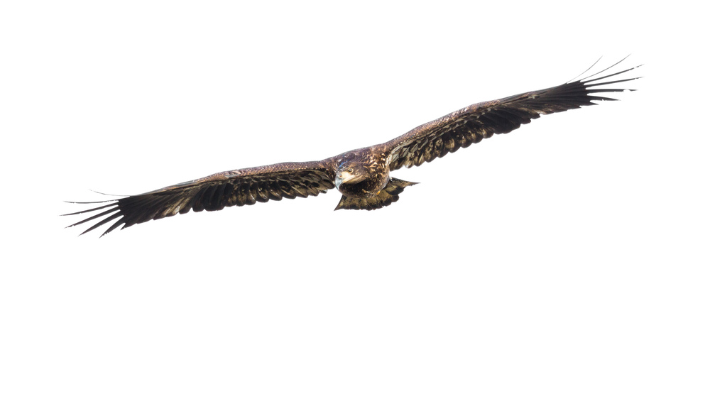 Immature Eagle