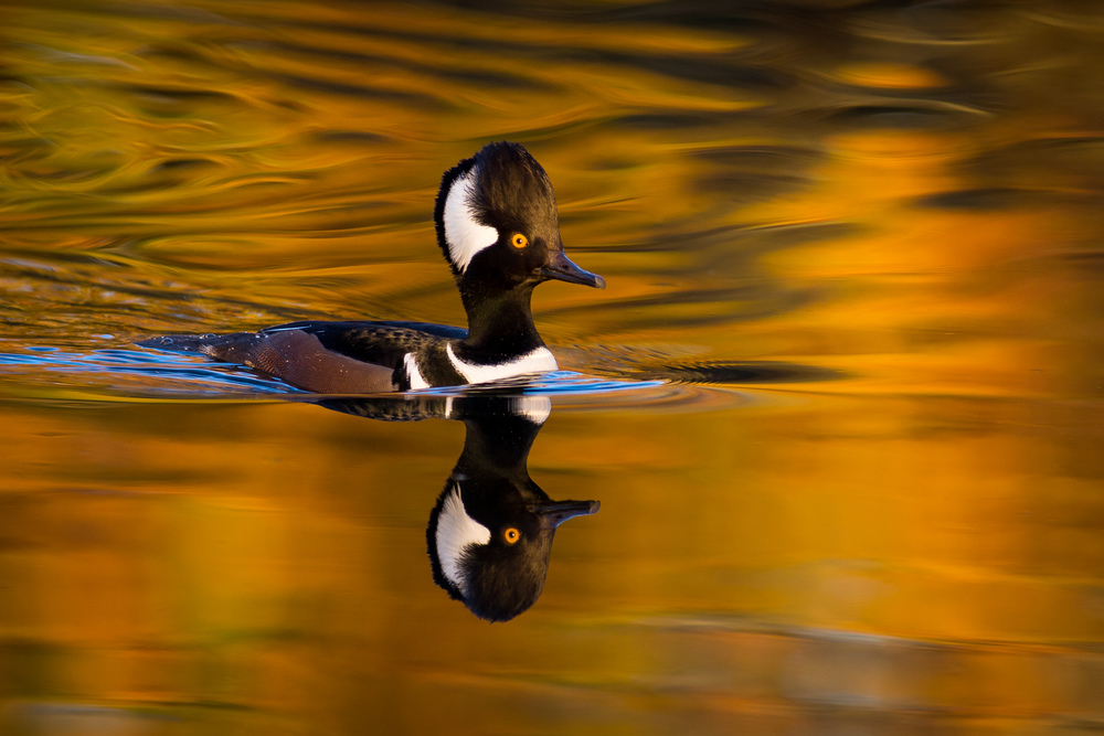 Hooded Merganser's Autumn Swim