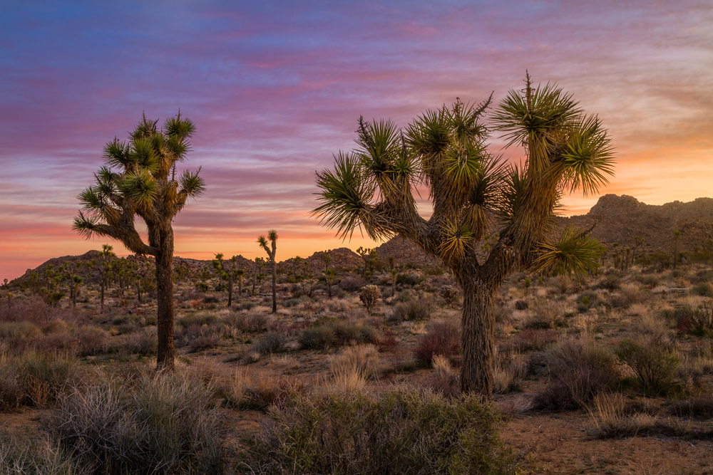 Joshua Tree Sunrise