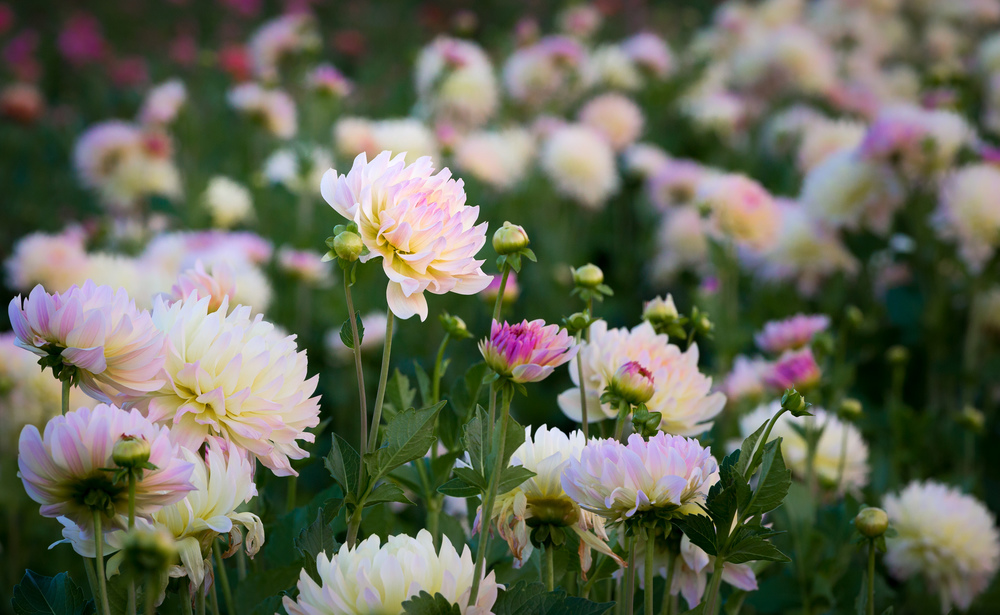 Dahlias in White