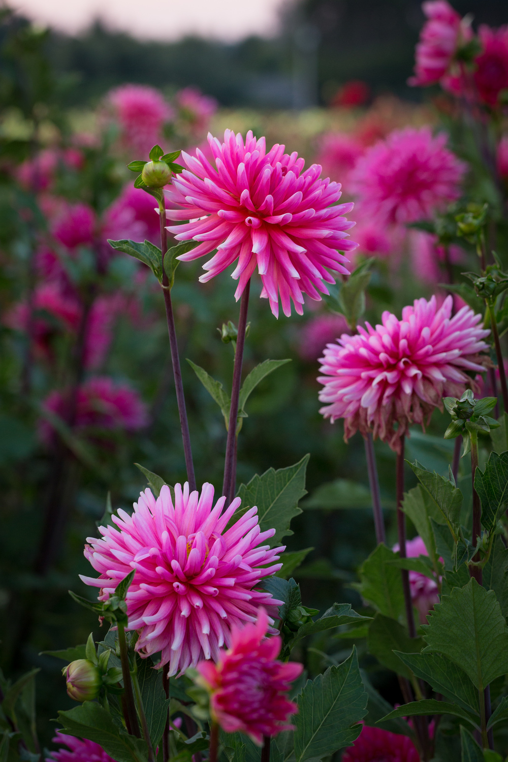 Pop Goes The Dahlia