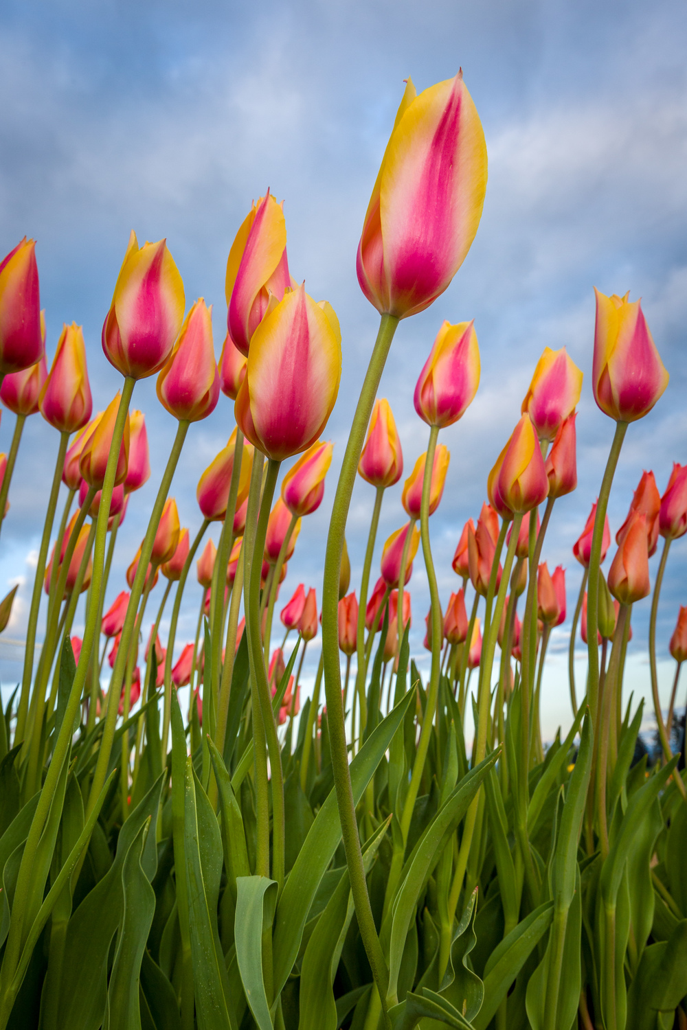 Tulips To The Sky
