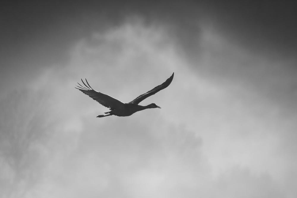 Crane in Ridgefield Mist