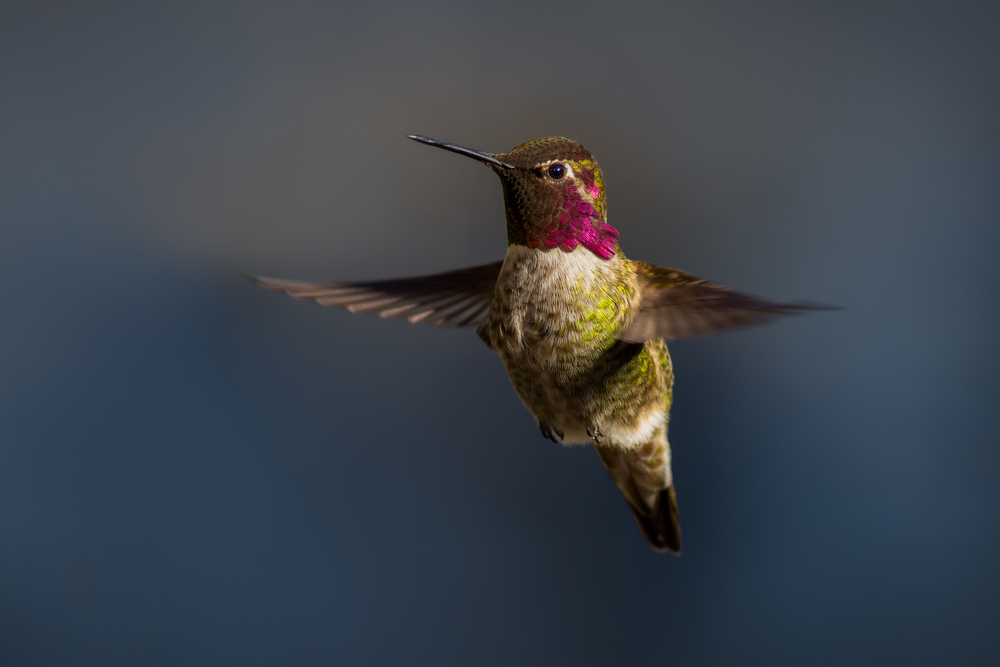 Hovering Anna's Hummingbird
