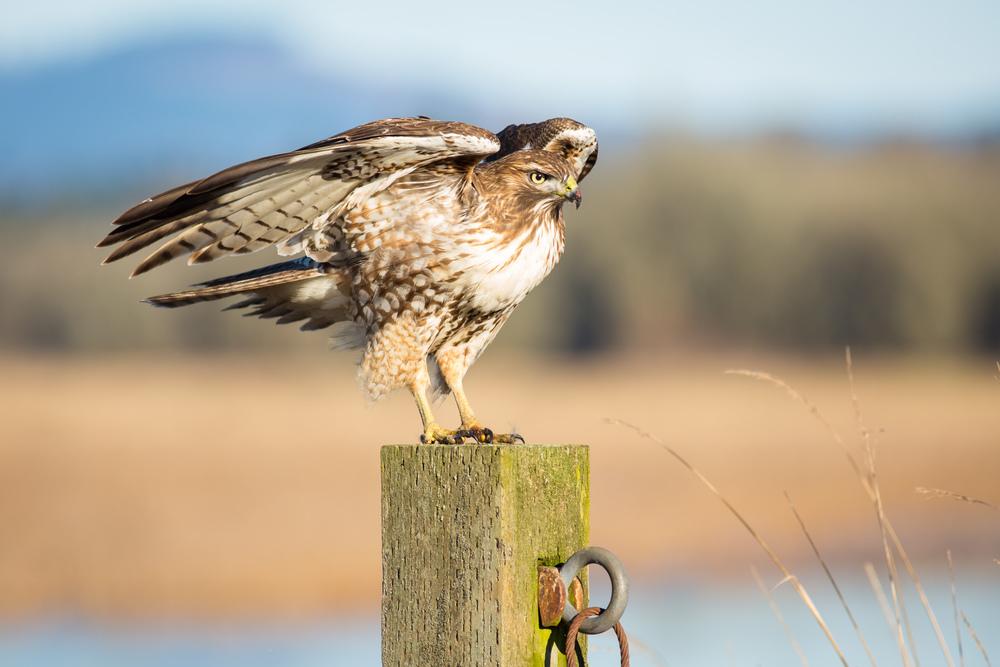 Hawk's Post