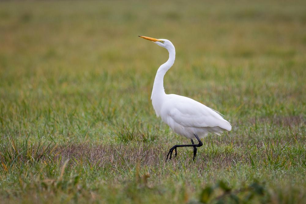 Proud Egret