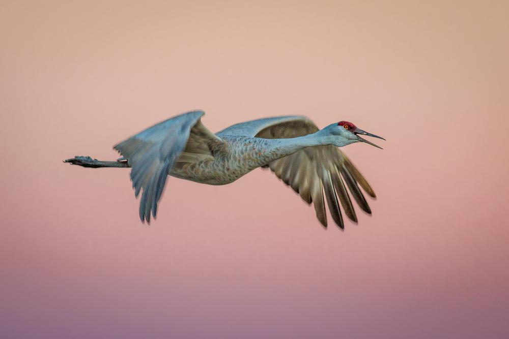 Crane's Dusk Flight
