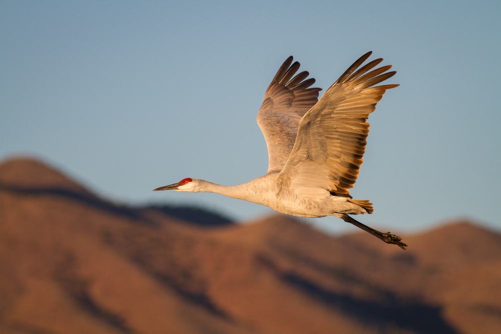 Sandhill Crane Fly By