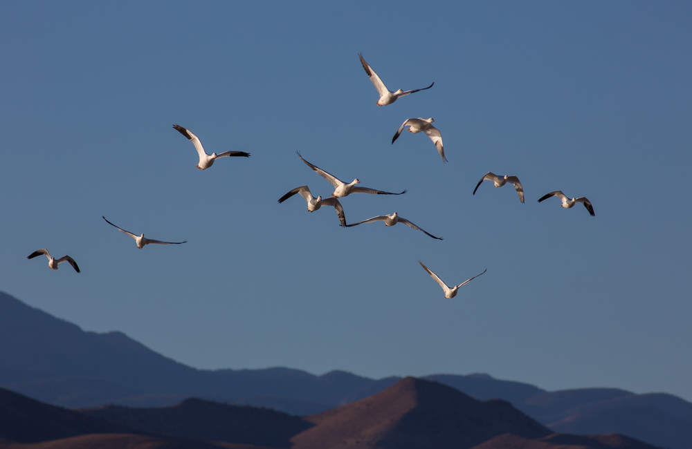 Geese Over the Hills