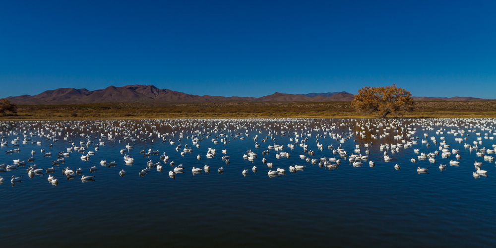 Snow Goose Dotted Landscape