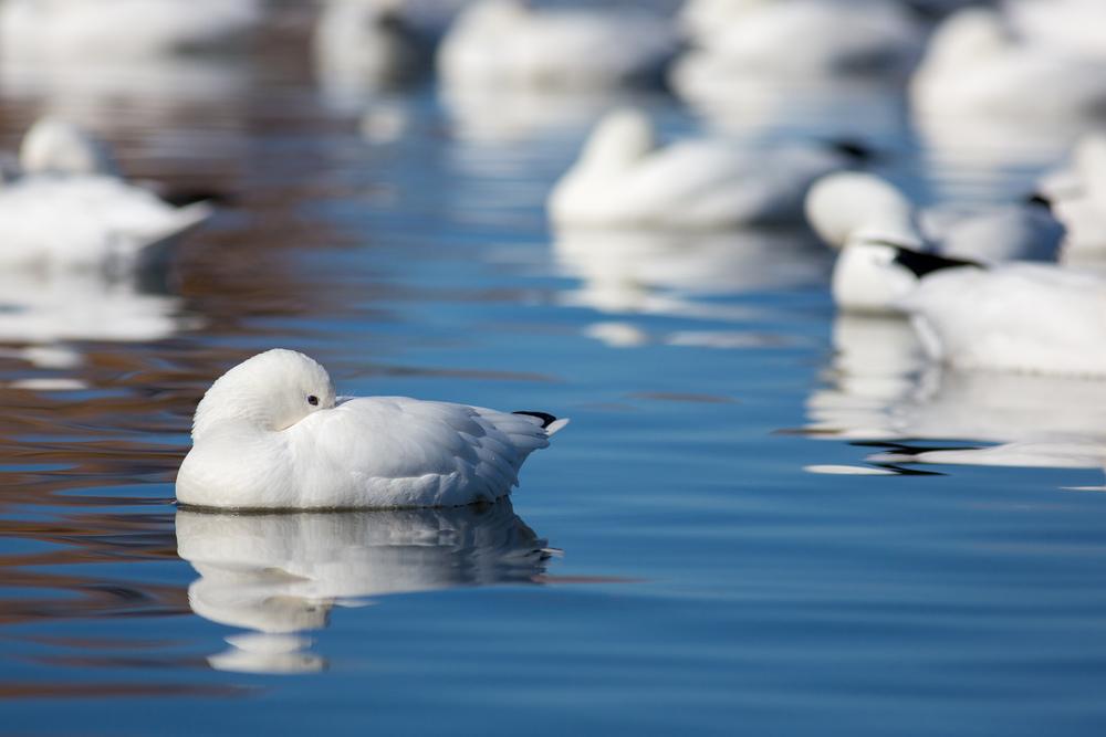 Snow Goose Siesta