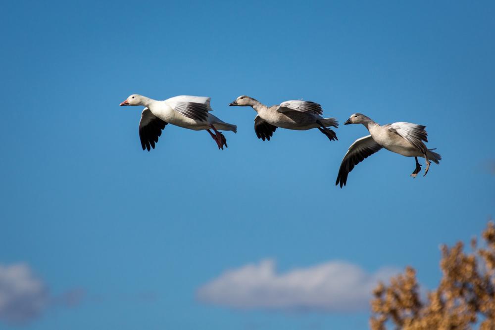 Three Snow Geese