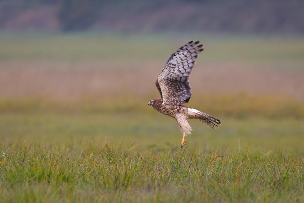 Harrier Takes Flight