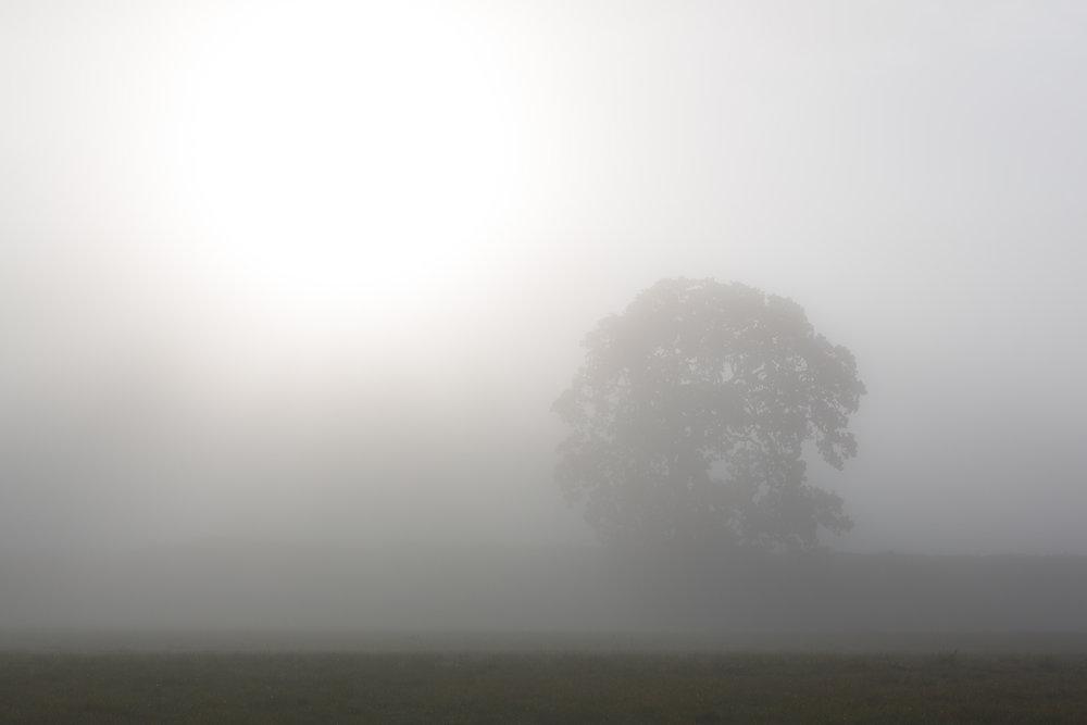 Oak Tree in Fog