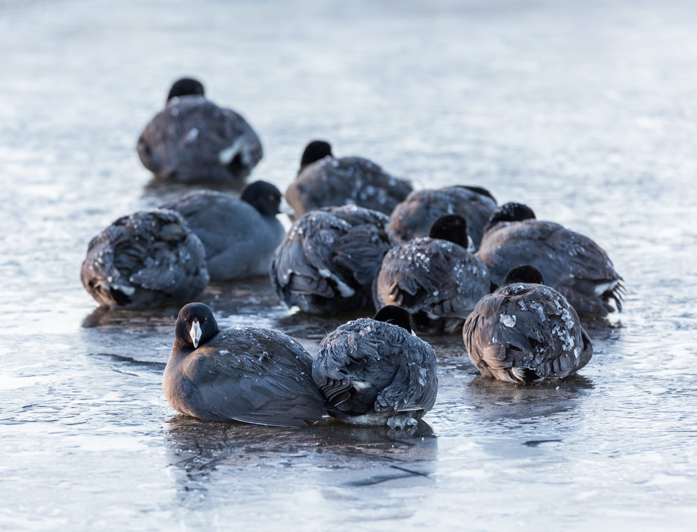 Cold American Coots