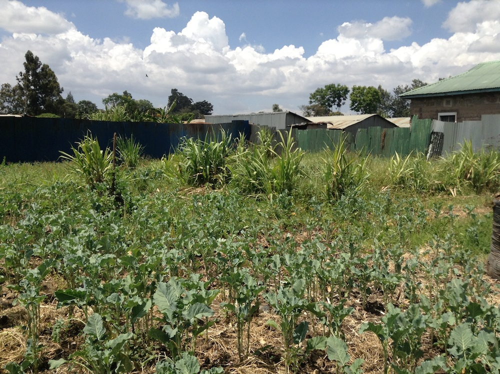 Maize and sukuma wiki are the primary crops.
