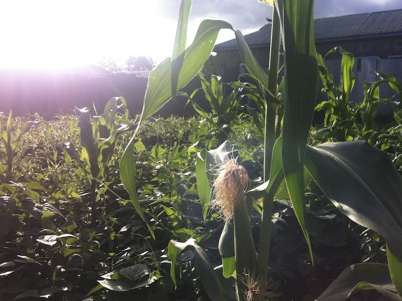 Maize is one of the primary crops
