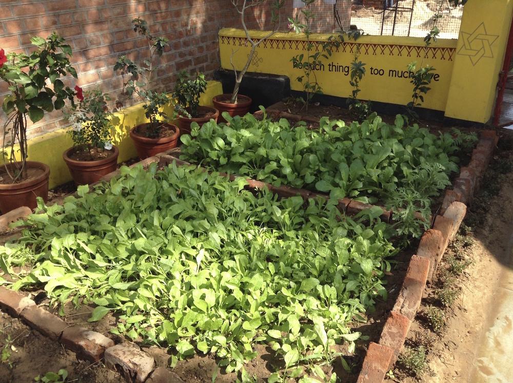 Spinach (palak) flourishing.