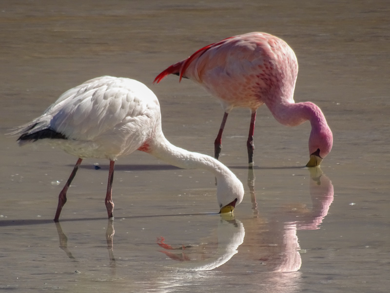 flamingos_salt_flats_tour_bolivia_1.jpg