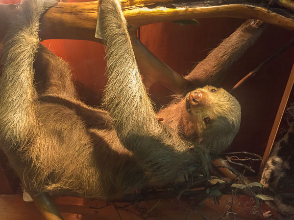 stuffed_sloth_museo_de_historia_cusco.jpg