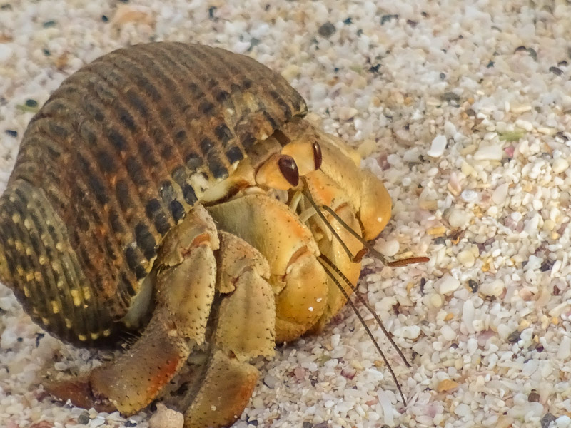 hermit_crab_galapagos.jpg