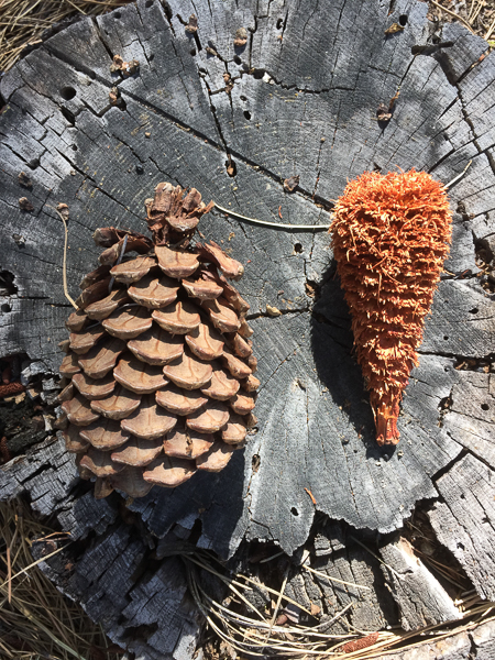 pine_cone_before_after.jpg