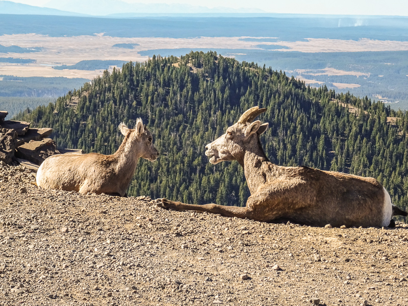 adult_and_young_bighorn_sheep_yellowstone_national_park.jpg