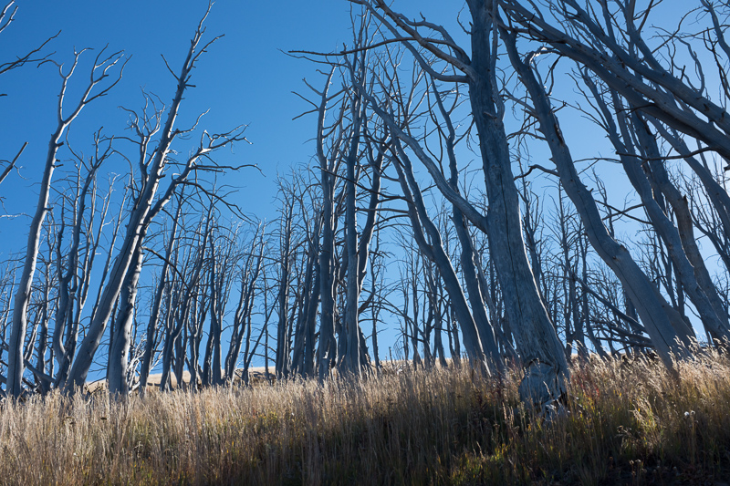 burnt_trees_yellowstone_national_park.jpg