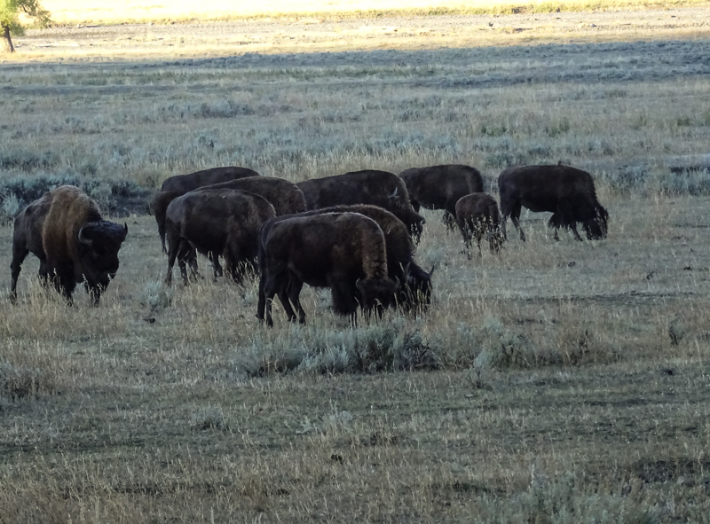 Just more bison