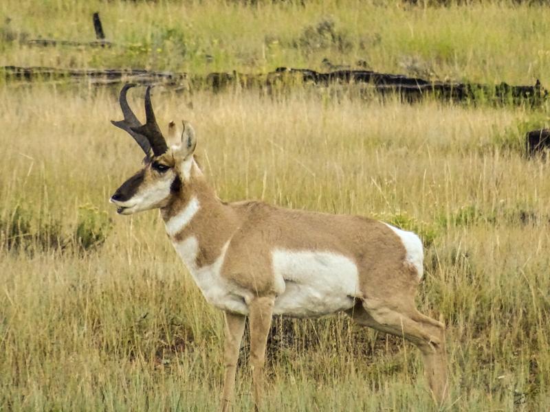 side_view_pronghorn_antelope_bryce_national_park_utah.jpg