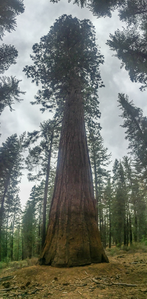 giant_sequoia_trees_yosemite_national_park.jpgh