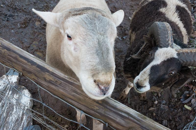 housesitting_sheep.jpg