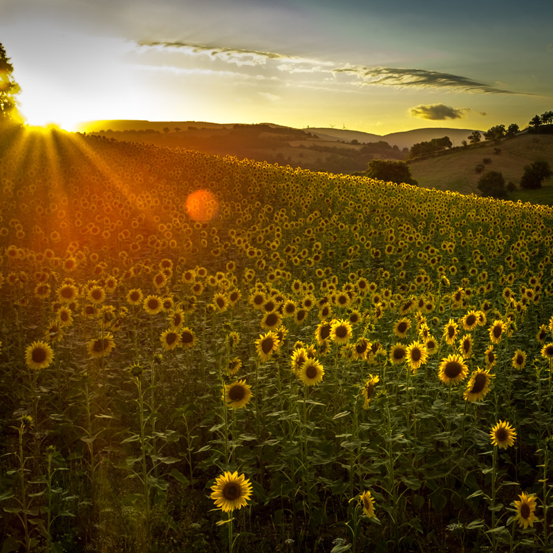 sunrise_sunflowers_san_ginesio_italy.jpg
