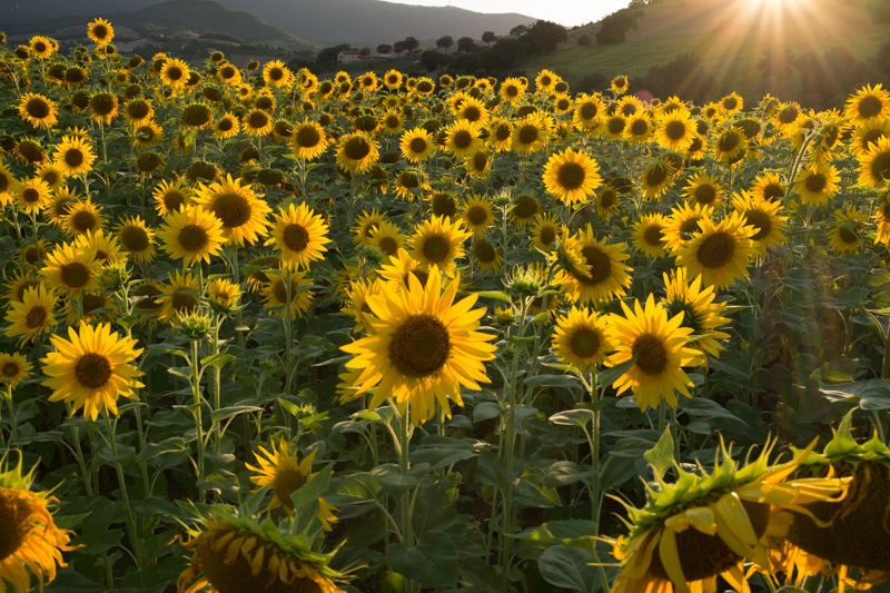 sunflowers_italy.jpg