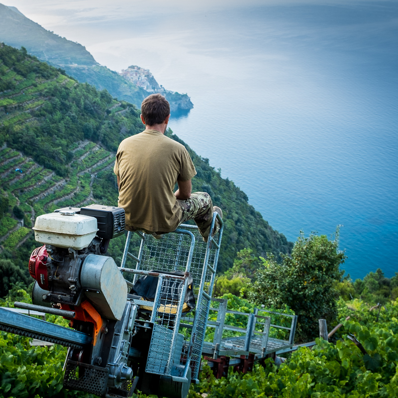 trenino_grape_vines_cinque_terre_italy.jpg