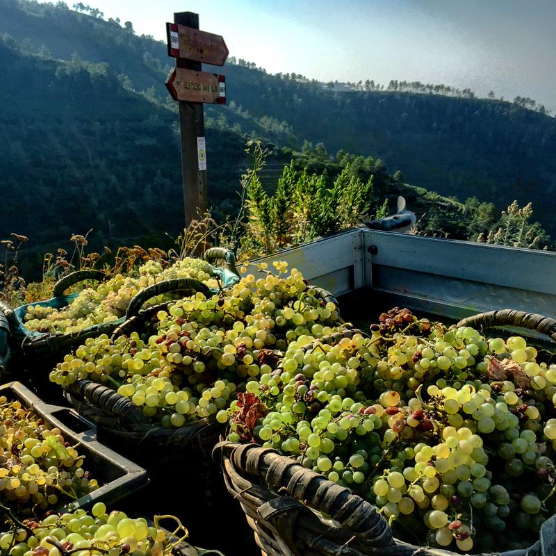 grapes_cinque_terre_italy.jpg