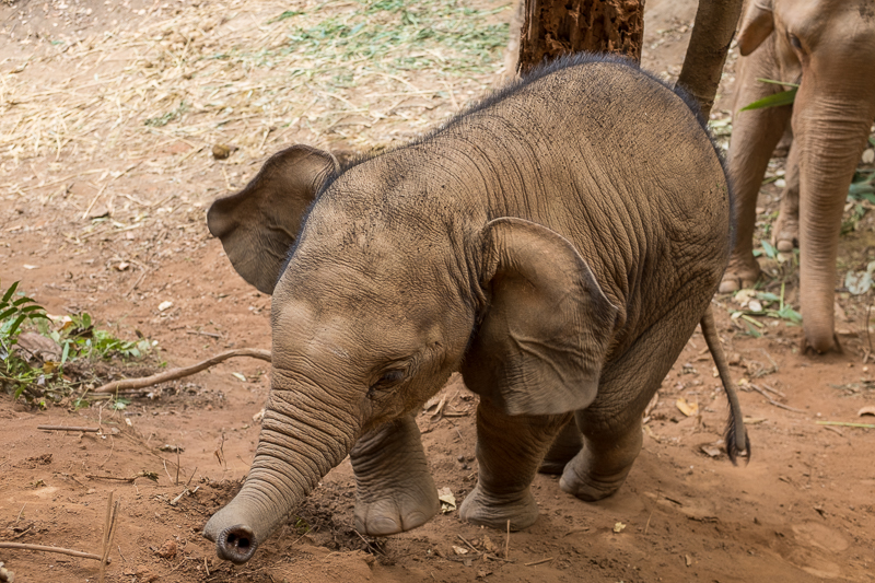 Baby elephant Kili building up her strength by charging up the dusty slopes of her enclosure.