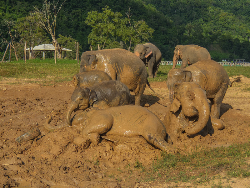 Elephants enjoying a mud bath at Elephant Nature Park, Thailand.