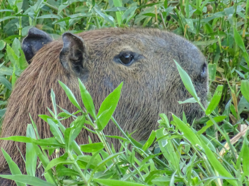 capybara_in_the_grasses.jpg