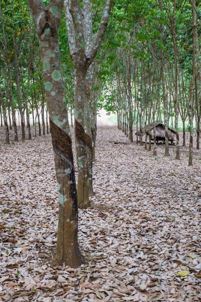 rubber_plantation_luang_prabang.jpg