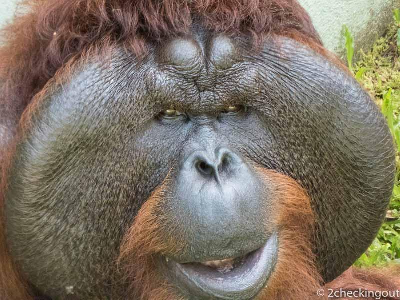 Large male Orangutan at Matangi Wildlife Park
