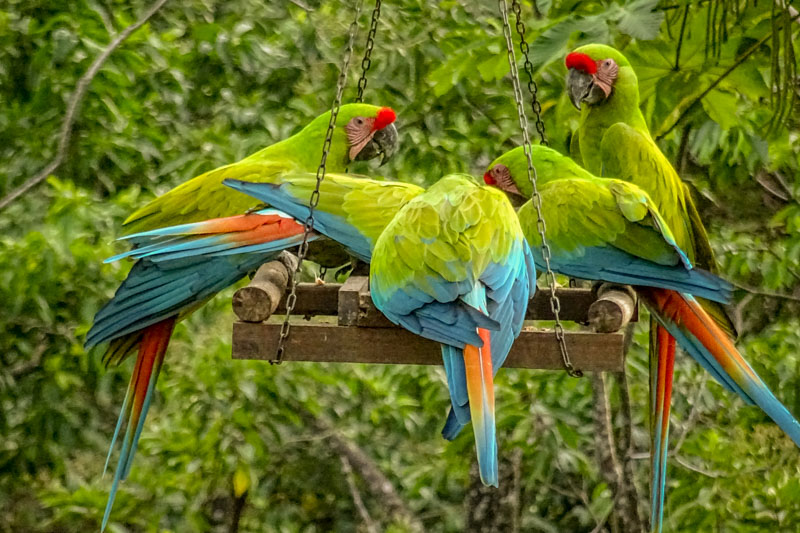 COSTA RICA: 3 WEEKS OF ANIMAL MAGIC ON THE CHILLED OUT CARIBBEAN COAST - Incredible wildlife at Jaguar Rescue Centre, The ARA Project, Monteverde Cloud Forest Reserve, even in our Air BnB jungle garden. Add in zip lining, yoga and beach time, perfect!