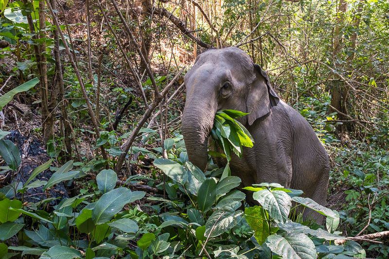 ELEPHANT LOVE: A WEEK VOLUNTEERING AT JOURNEY TO FREEDOM, THAILAND - Seven captivating days getting to know seven elephants really well, including a 6-month-old calf. Journey to Freedom is our second full blown elephant experience.