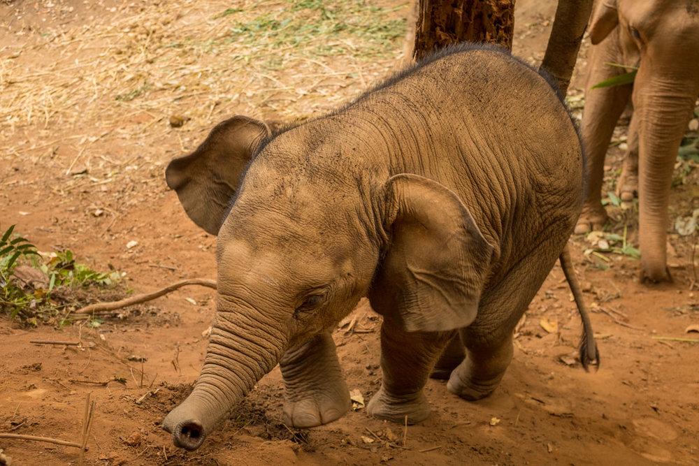 Thailand: Elephant Love