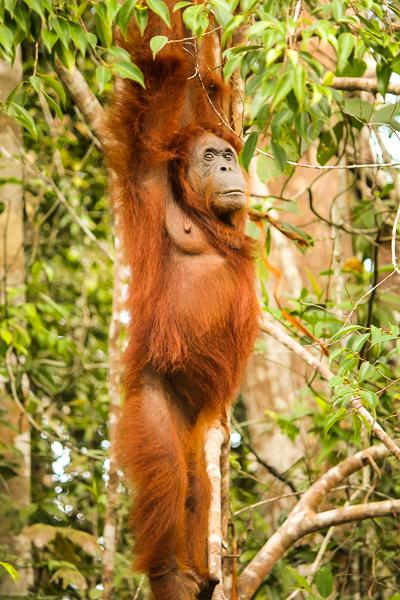 orangutan_semenggoh_wildlife_centre.jpg