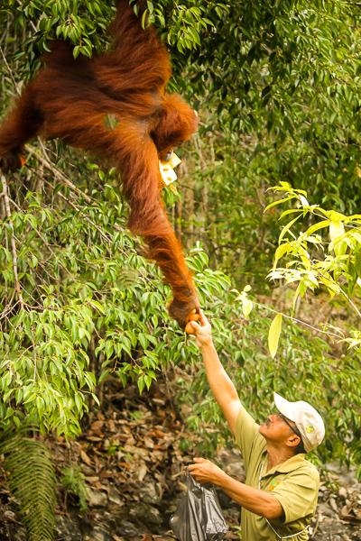 ranger_feeding_orangutan_semenggoh_wildlife_centre.jpg
