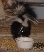 150_Baby_Skunk[1].jpg