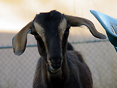 goats.in.the.machine.JPG